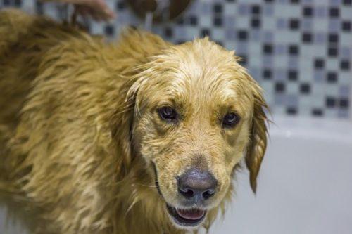 Kožne infekcije kod pasa